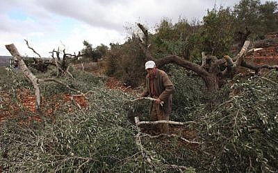 Palestinian olive farmers check damage to their olive trees that were allegedly cut down by Israeli settlers in October 2013. (Issam Rimawi/Flash90)