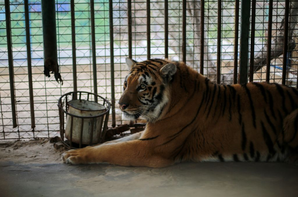 Laziz, thought to be the last remaining tiger in Gaza, will be transferred to a new home and much improved conditions in South Africa. (Courtesy Four Paws)