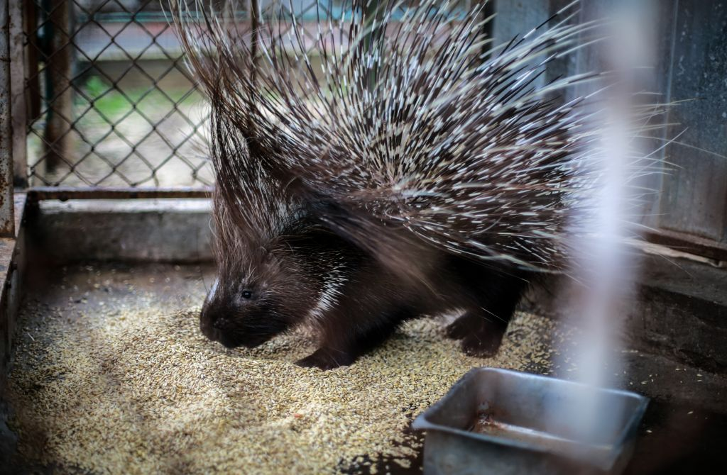 A porcupine was moved to a more appropriate enclosure during a Four Paws mission at the Khan Younis Zoo in Gaza. (Four Paws)
