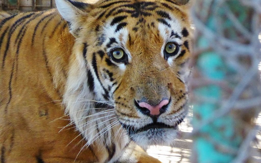 Israeli toddler stable after mauled by tiger in Thailand