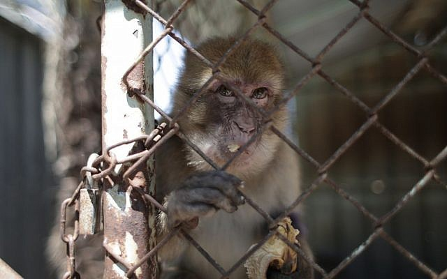 A monkey living in squalid conditions at the Khan Younis Zoo in Gaza. (Four Paws)