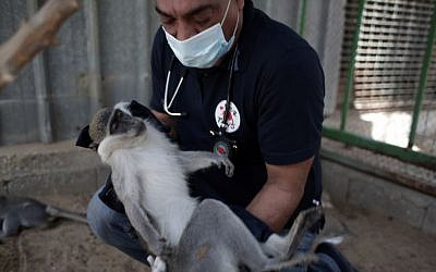 A Four Paws worker treats a monkey at the neglected zoo in Gaza. (Four Paws)