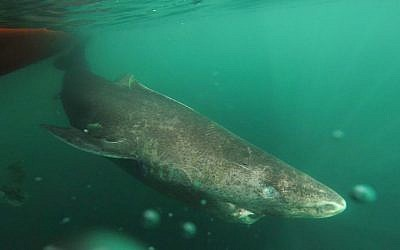 This undated photo made available by Julius Nielsen on August 11, 2016 shows a Greenland shark slowly swimming away from a boat, returning to the deep and cold waters of the Uummannaq Fjord in northwestern Greenland during a tag-and-release program in Norway and Greenland. (Julius Nielsen via AP)