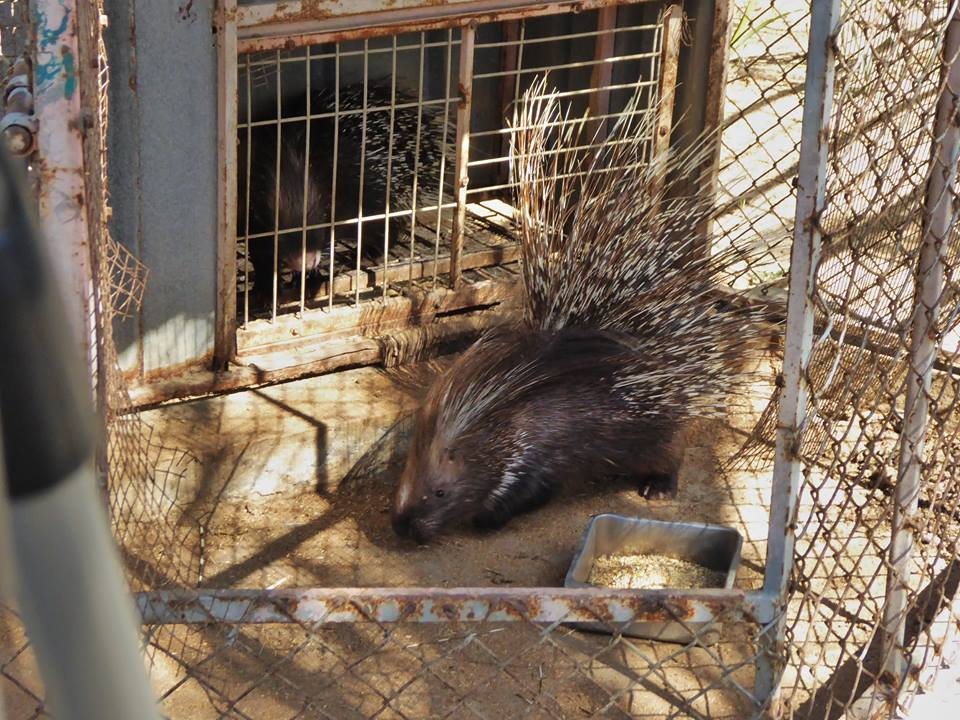After tough negotiations, the porcupines reappeared at the Khan Younis zoo in time for their rescue. (Four Paws)