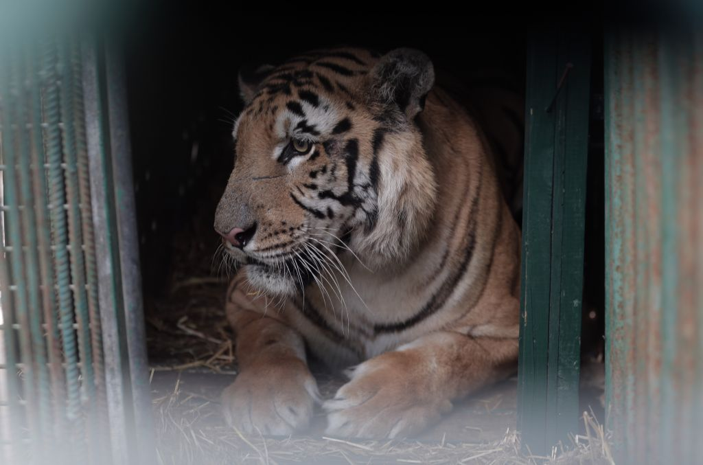 Laziz, thought to be the last remaining tiger in Gaza, will be making his new home in South Africa where he will have a hectare of land and the company of 18 other tigers. (Courtesy Four Paws)