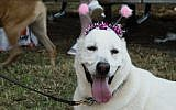 A Tel Aviv dog sports festive headgear at a celebration for canines held by the city on August 26, 2016 (Luke Tress)