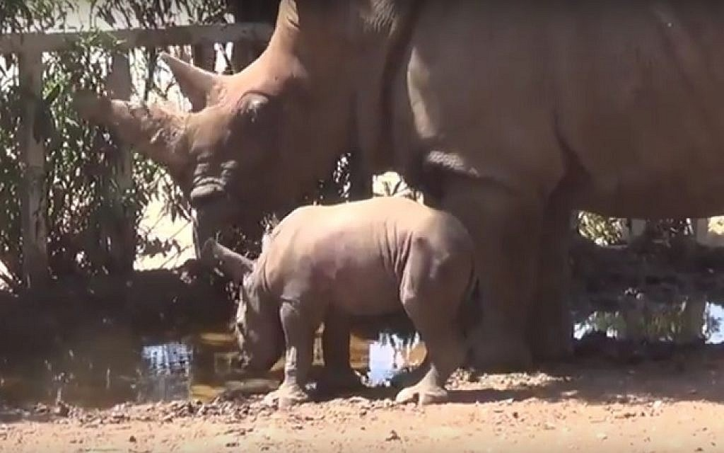 A still image from footage released on August 24, 2016, showing Tanda the white rhino and her new-born calf taking a drink at the zoo in Ramat Gan, central Israel. (screen capture: YouTube)