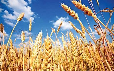 Picture of wheat (Courtesy)