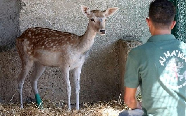 A deer surveys its new temporary home at the New Hope Center refuge near Amman on August 25, 2016, after being rescued from a zoo in the Gaza Strip.  AFP PHOTO / Khalil MAZRAAWI