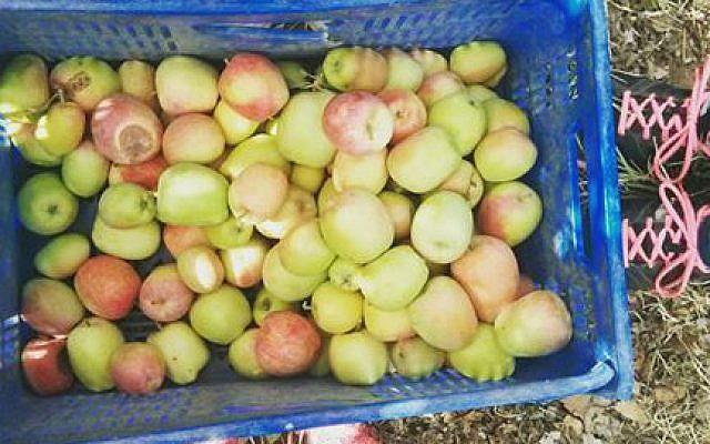 Picking apples for Leket, the food bank, for Rosh Hashanah 2016 (Courtesy Leket)
