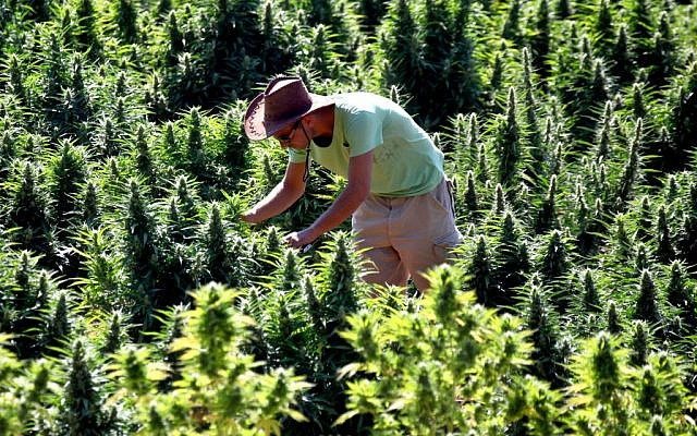A worker tends to cannabis plants at a growing facility for the Tikun Olam company near the northern Israeli city of Safed (Abir Sultan/Flash 90)