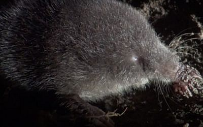 A star nosed mole. (YouTube screenshot)