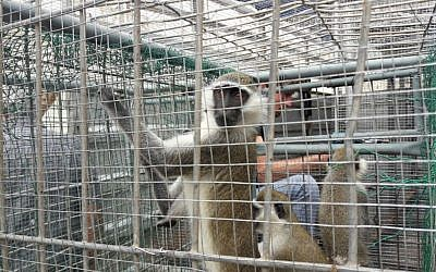 Some of a dozen monkeys and two deer transported from the Gaza Strip, via Israel, to a zoo in Tulkarem, September 26, 2016. (COGAT spokesperson)