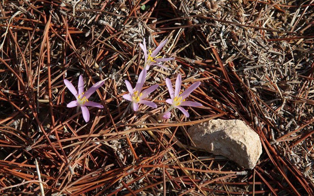 Crocus flowers dot the grounds of the Kommemiyut Forest. (Shmuel Bar-Am)