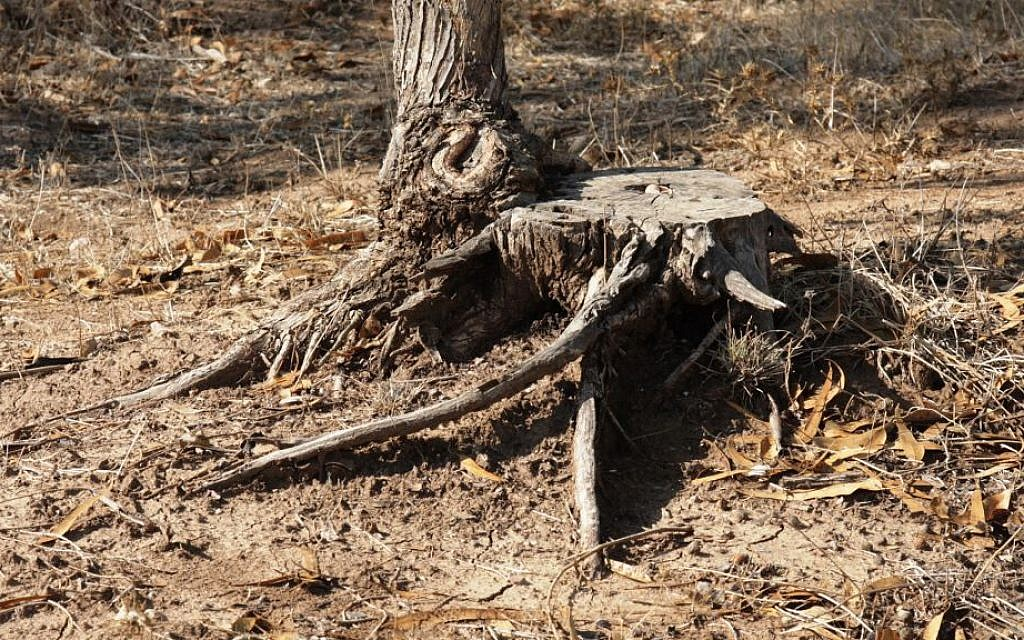 The stump of a Eucalyptus tree, harvested for industrial use. (Shmuel Bar-Am)
