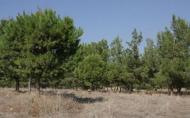 Pine trees, like these in southern Israel's Kommemiyut Forest, are highly inflammable. (Shmuel Bar-am)