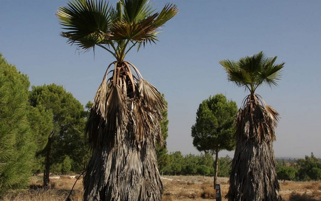Exotic-looking palms line the path to the quarry in the forest. (Shmuel Bar-Am)