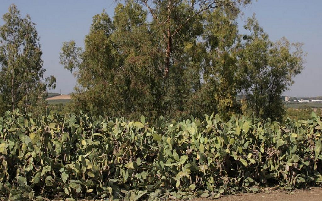 Prickly pears in summer. (Shmuel Bar-Am)