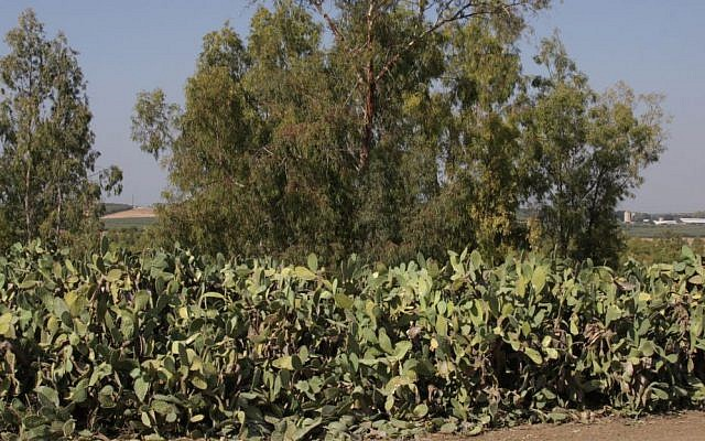 Prickly pears, or sabras, bloom in the area in the summer. (Shmuel Bar-Am)