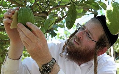 Samuel Ekstein from New York City controls the quality of a lime-green citron fruit in Santa Maria Del Cedro, southern Italy, on September 14, 2016. (AFP/Alberto Pizzoli)