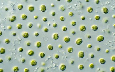 The microalgae  Nannochloropsis sp. as seen under a microscope. (CSIRO/Wikimedia/CC BY 3.0)