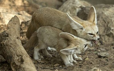 Fennec fox Penny stands with one of her new-born kits at Ramat Gan Safari on November 6, 2016. (AFP PHOTO/JACK GUEZ)
