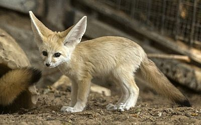 A picture taken on November 6, 2016 shows a seven-week old fennec fox (Vulpes zerda) at the Ramat Gan Safari zoo near the Israeli coastal city of Tel Aviv. (AFP PHOTO / JACK GUEZ)