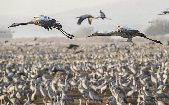 Gray Cranes flocking at the Agamon Hula Lake in the Hula valley in northern Israel, December 7, 2016. (AFP/Jack GUez)