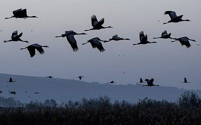 Gray Cranes flocking at the Agamon Hula Lake in the Hula valley in northern Israel, December 7, 2016. (AFP PHOTO / JACK GUEZ)