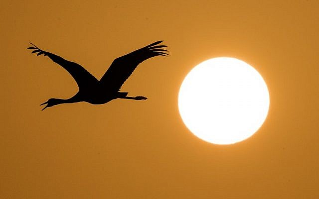 A Gray Crane flying over the Agamon Hula Lake in the Hula valley as the sun rises in northern Israel, December 7, 2016. (AFP PHOTO / JACK GUEZ)