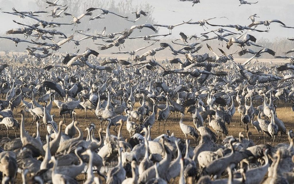 Gray Cranes flocking at the Hula Lake in the Hula valley in northern Israel on December 7, 2016. (AFP/JACK GUEZ)