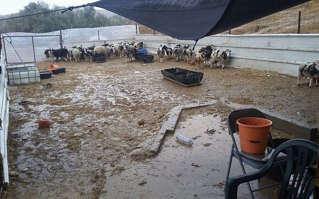 Torrential rains have destroyed the temporary quarantine quarters for 100 Jacob's sheep, who recently arrived in Israel from Canada, on December 18, 2016. (courtesy Gil Lewinsky)