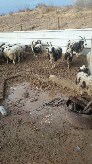 Heavy rains flooded the Jacob's sheep temporary quarantine site near Ofakim on December 18, 2016. (Courtesy Gil Lewinsky)