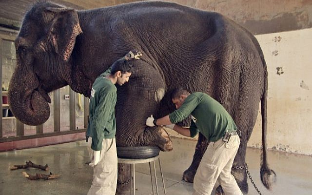 Tending the elephants and other acts of coexistence in 'Holy Zoo,' the documentary showing at the Jerusalem Jewish Film Festival, December 24-29, 2016 (Courtesy Ammar Shachar)