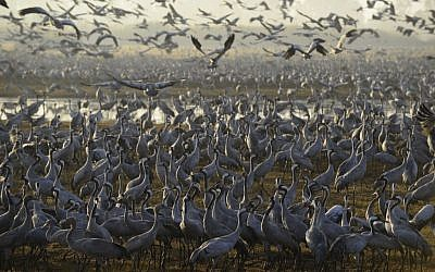 Gray Cranes flocking at the Agamon Hula Lake in the Hula valley in northern Israel, December 7, 2016. (Tomer Neuberg/Flash90)
