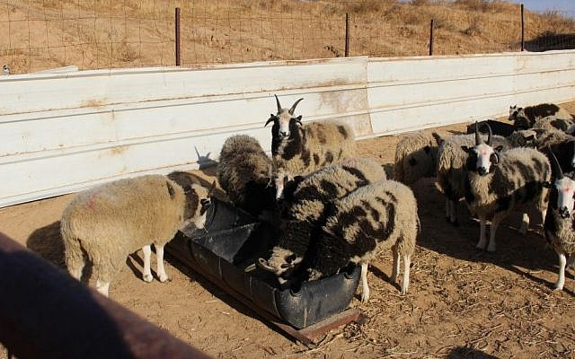 The Jacob's sheep in quarantine in southern Israel on December 5, 2016. (courtesy The Friends of Jacob Sheep)