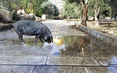 Screen capture of a digitally altered image showing a pig on the Temple Mount, posted on social media by a Jewish activist, December 21, 2016. (Screen capture/Facebook)