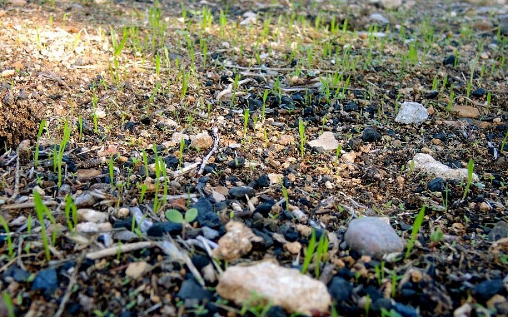 New growth peaks out of charred ground outside Jerusalem on December 12, 2016, just two weeks after devastating fires swept through Israel. (Melanie Lidman/Times of Israel)