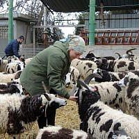 Jenna Lewinsky feeds grains to the Jacobs sheep on January 15, 2017. (Melanie Lidman/Times of Israel)