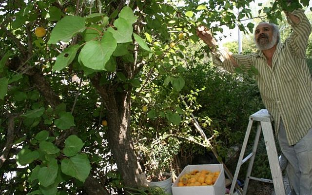 A man picks oranges in the settlement of Gush Etzion. (Gershon Elinson/Flash90)