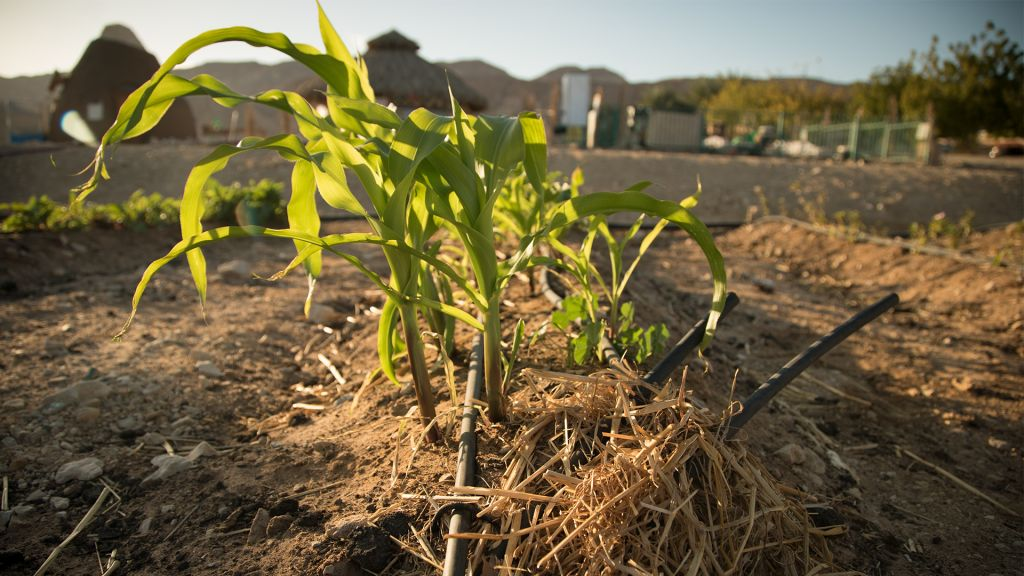 Corn grown with drip fed irrigation at the Arava Institute. (Luke Tress/Times of Israel)