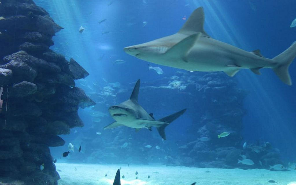 The shark pool in Eilat's Underwater Observatory also includes walruses, stingrays and other creatures. (Shmuel Bar-Am)