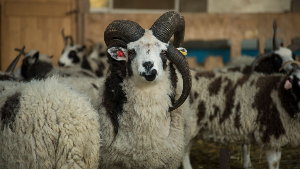 After bleating a path to Israel, Jacob's sheep frolic in new