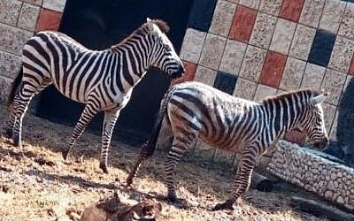 Two of the four zebras that were transferred from the Ramat Gan safari to the Qalqilya zoo on January 21, 2017 (COGAT )