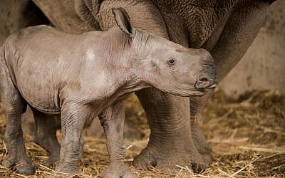 Rami, a baby white rhinoceros born at the Ramat Gan Safari, February 2017. (Shai Ben Naftali/Ramat Gan Safari)