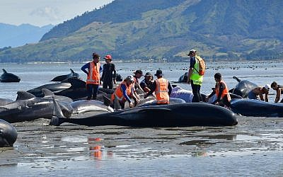 Volunteers pour water on pilot whales during a mass stranding at Farewell Spit on February 11, 2017.  (AFP/Marty Melville)