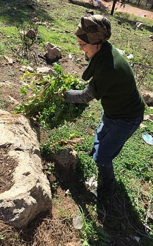 Ronit Peskin, aka the Penniless Parent, shakes dirt out of a bundle of wild mustard foraged in the Ramot Forest (Jessica Steinberg/Times of Israel)