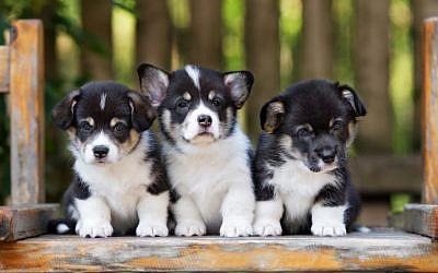 An illustrative photo of three (Welsh corgi) puppies. (Alona Rjabceva/Getty Images)