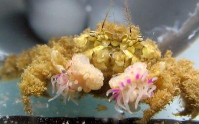 A Lybia crab found in Eilat (Courtesy Yisrael Schnytzer)