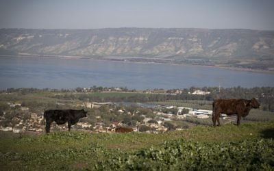 A cow stands in a field overlooking the Sea of Galilee, northern Israel, on February 18, 2017. Photo by Nati Shohat/Flash90